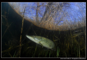 Adult pike fish close to the surface... :O)...